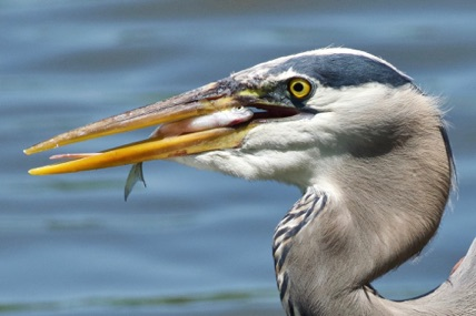 Blue Herron Eating Lunch